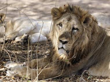 Gir Lion Project a rare conservation success story