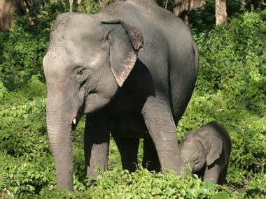 African elephants may be extinct in 20 years