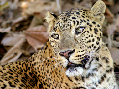 Leopard looks on from its enclosure in the South Khairbari nature park in Siliguri