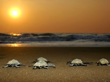 Olive ridley hatchlings waddle to the sea at Velas in Maharashtra. Photo: Yuwaraj Gurjar