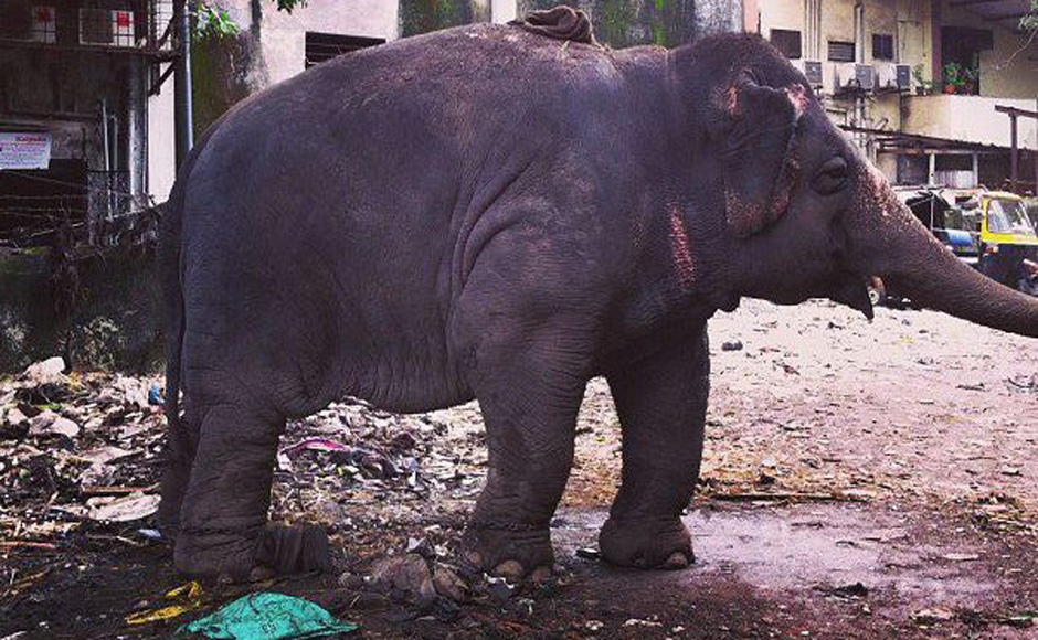 This is an 18-year-old elephant, Laxmi who is also obese like Bijlee. In fact Dr Sharma says at this rate Laxmi might have the same complications as Bijlee in a few years. Image Courtesy: Shormistha Mukherjee