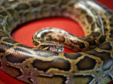 Shocking discovery 40 pythons found in motel room in Canada