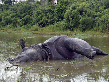 Assam floods Over 140 animal carcasses found at Kaziranga National Park