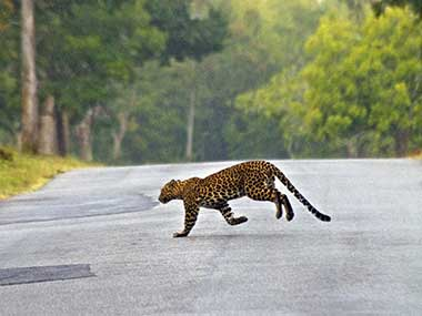 Now, accidents rival poaching as key threat to leopards in India