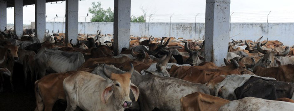 Aadhaar cards for cows? 3 reasons why this vegetarian opposes the beef ban