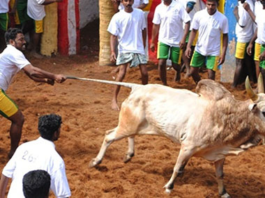 SC stayed the government notification allowing Jallikattu. Image courtesy: Peta India