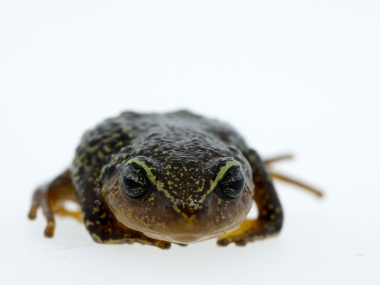 The eyebrows have it Frog with yellow eyebrows discovered in Colombia