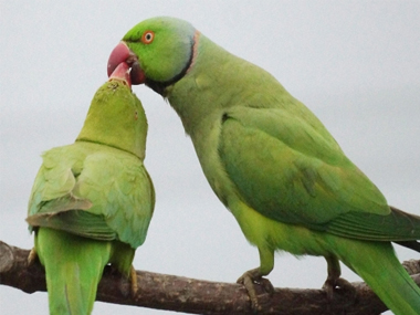 Size doesnt matter Parrots crows as smart as apes despite much smaller brains