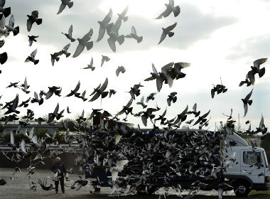 Pigeon racing is animal torture and must be stopped. Reuters