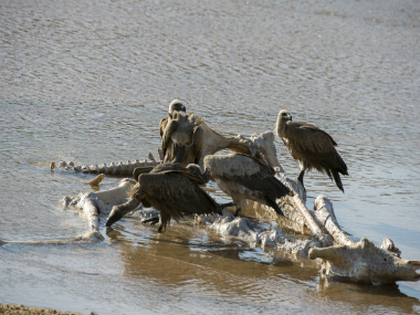 File image of vultures feeding on a carcass near Kruger National Park in South Africa. GETTY IMAGES