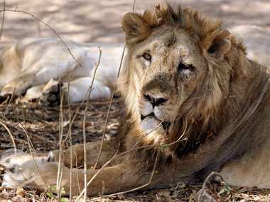 A lion in the Gir forest. Reuters