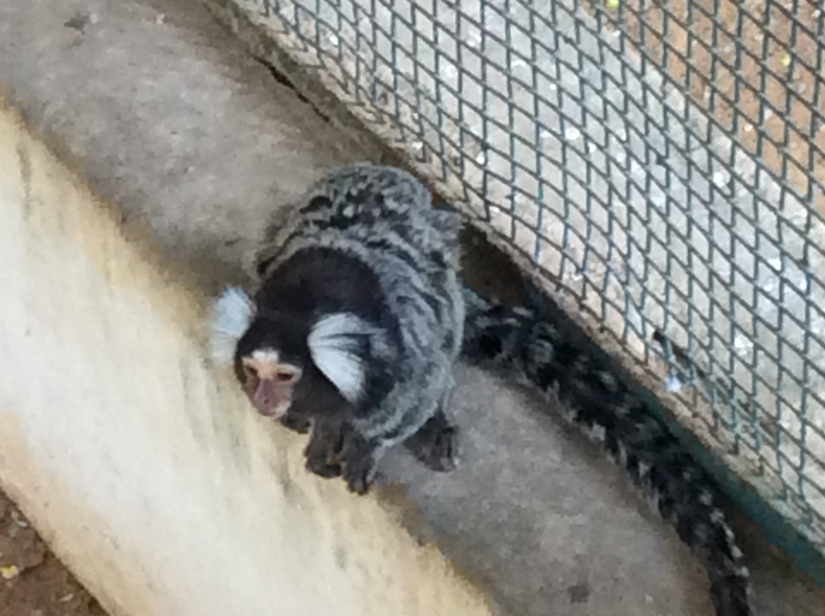 The Marmoset Monkey at the Bannerghatta zoo in Bengaluru. Firstpost/Janaki Murali