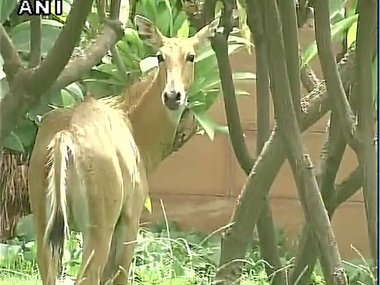 """""""Terrified"""" Nilgai rescued near Parliament in four-hour-long operation"""
