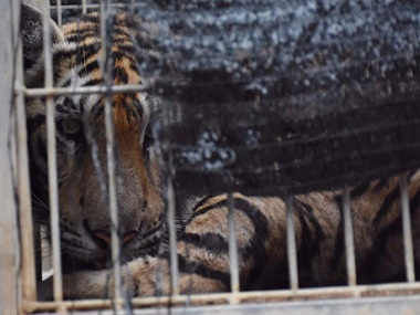 "A tiger looks out of a cage at the ""Tiger Temple"" in Kanchanaburi province. AP."