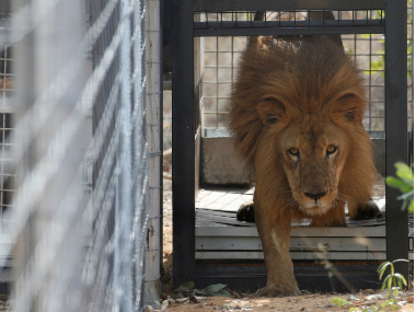 Three Asiatic lions turn maneaters sentenced to life in a cage
