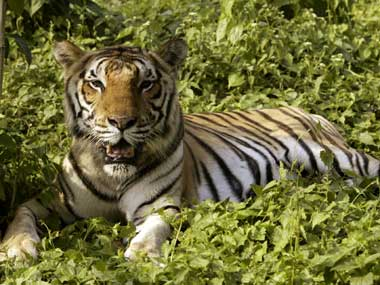 Not burning bright Why tigers are in danger in India despite rising numbers