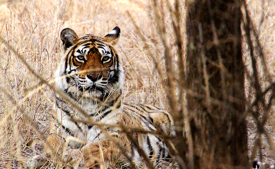 Machli, India's most famous tiger, photographed by thousands of tourists over the years at Ranthambore National Park, died on Thursday, days after the ageing animal stopped eating.