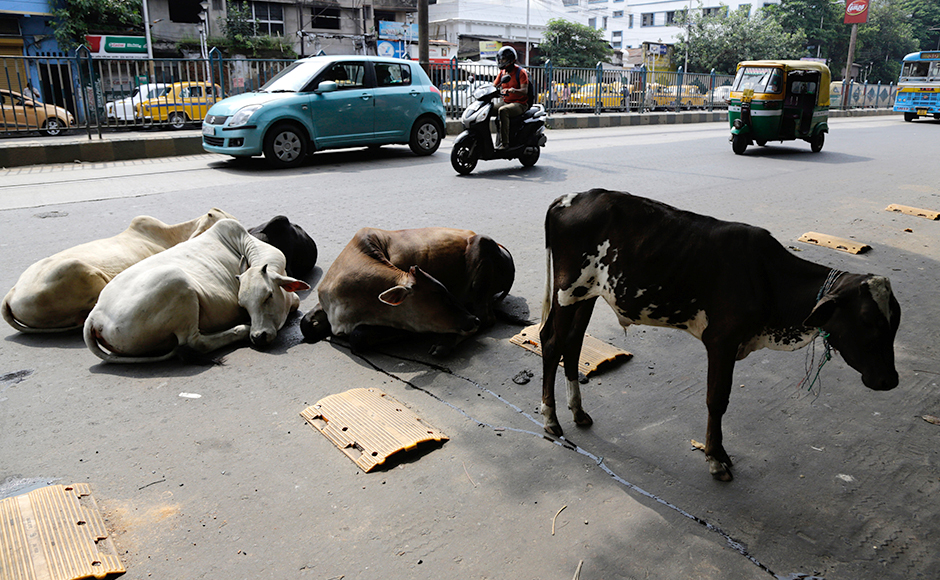 Stray cattle sit on a road as members of trade unions and opposition parties observe a nationwide strike in Kolkata, India, Friday, Sept. 2, 2016. The strike was called against allegedly government's anti labor policies and demanded higher minimum wages and provision of social security to unorganized workers.AP