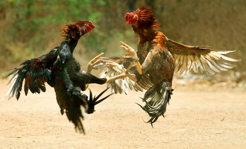 Cock fight in Andhra Pradesh. Wikimedia Commons