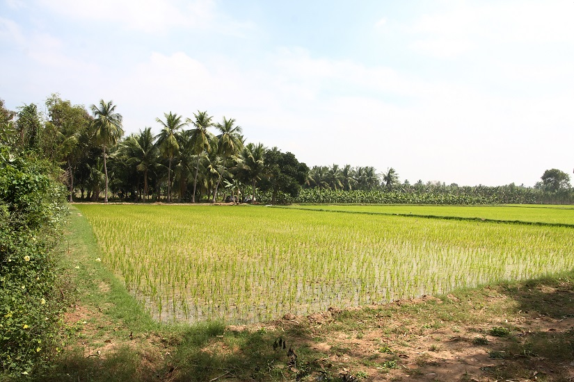 The lush green paddy field adjacent to the capped exploratory well in Kottai Kadu.