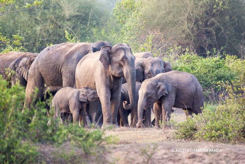 elephants Aditya Chandra Panda