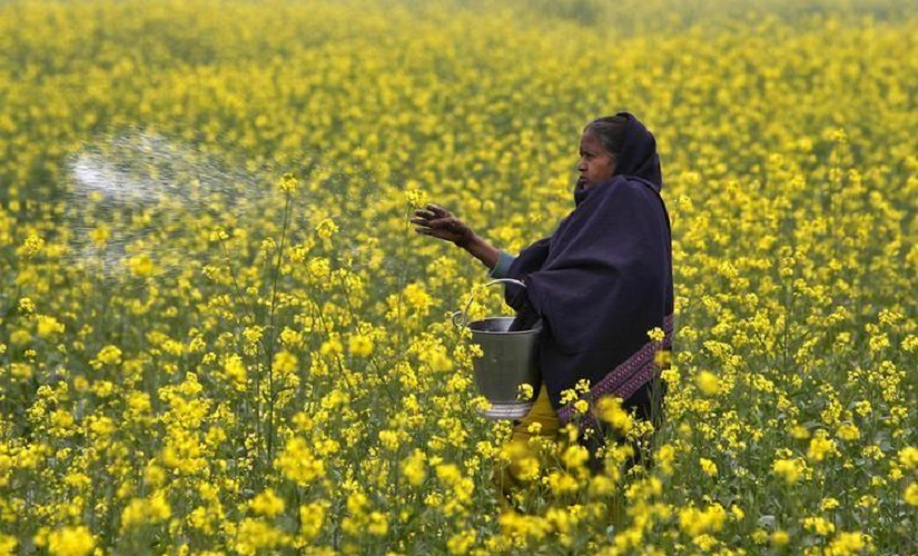 GM mustard row Hasty call on genetically modified crop could spell disaster govt must consider longterm effects