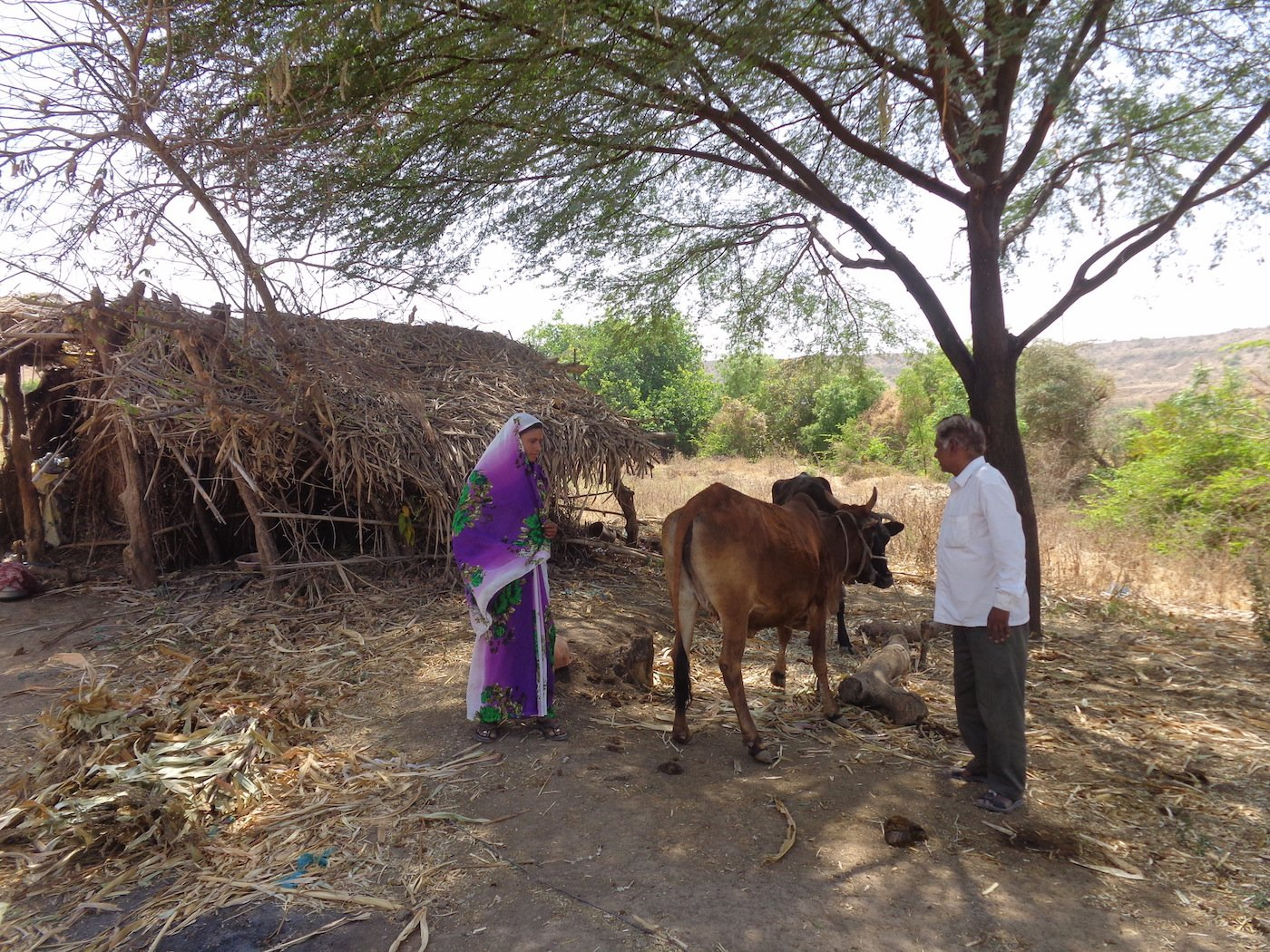 Jadhav and his daughter-in-law with their two remaining cows in front of their hut in Ganori village. Parth MN