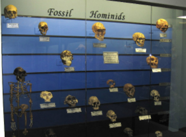 File image of fossil Hominids on display in Oklahoma. Wikimedia Commons