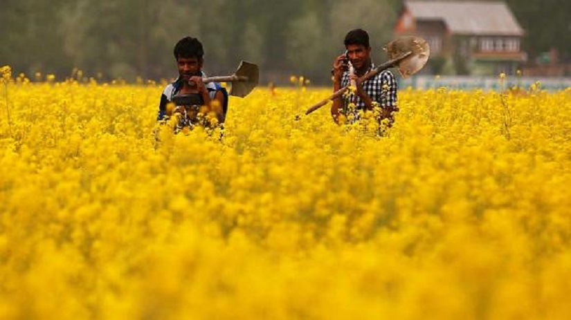 GM Mustard row Experts weigh in on both sides of the genetically modified foods debate