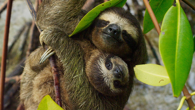 A mother pygmy three-toed sloth cradles her baby in her arms. It is around 6 months old and will stay with her a further 6 months before it leaves her