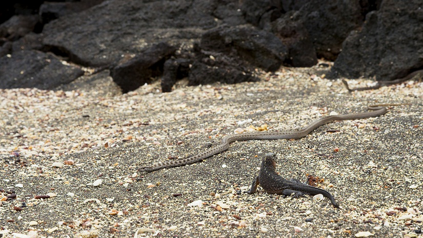 A hatchling marine iguana stands perilously close to a hunting Galapagos racer snake. Snake eyes are poor, but they can detect movement. If the hatchling stays still, the snake has to rely on other senses - like smell - in order to detect its prey.