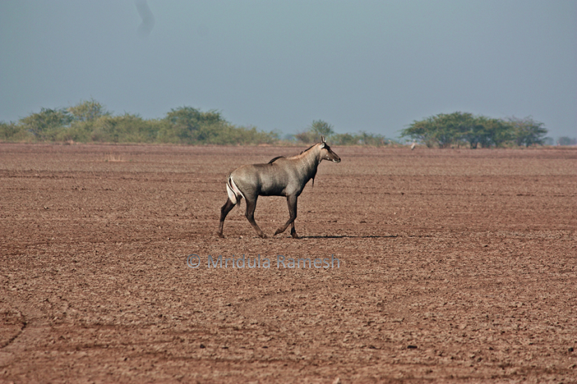In Little Rann a life lived on the margins highlights need to strike a balance in man vs wild conflict