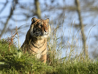 Two tigers killed in separate incidents in Rajasthans Sariska Ranthambore reserves in two days