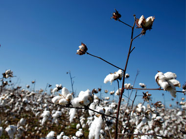 Cotton output may dip 12 to nineyear low on scanty rainfall in Gujarat Maharashtra exports to be cut