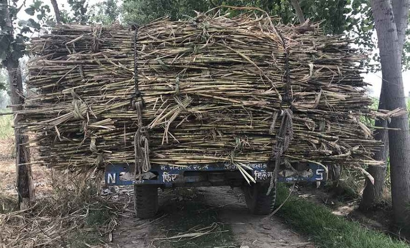 Uttar Pradeshs sugarcane farmers crippled by debts unproductive crop as mills fail to clear outstanding payments
