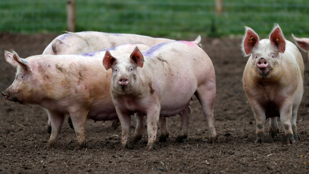 New virus strain found in pigs in China has the potential to become a pandemic however there is no imminent risk