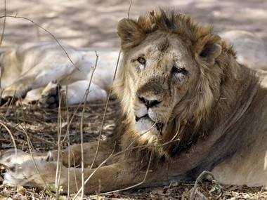 Gir lions deaths Officials fail to ascertain actual cause multiple hypotheses experts could muddy investigation