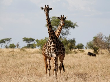 American souvenirhunters causing silent extinction of giraffes in Africa its time US put the animal on endangered list