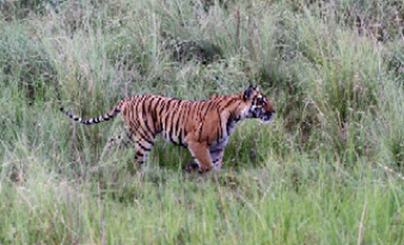 Increased tiger population brings new challenges dealing with habitat loss mananimal conflict is key
