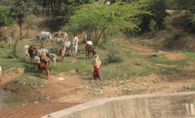 Stray cattle menace MP farmers lose sleep over threat to crops from bovines govt looks for answers in gaushalas