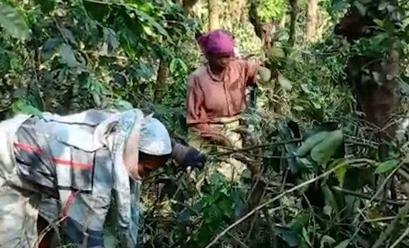 Antagonism towards migrant workers keeps Kodagu on edge as politicos fail to balance interests of locals and coffee industry