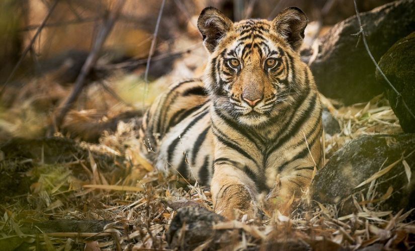 International Tiger Day Indias rising tiger numbers commendable but many challenges lie ahead