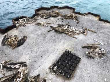 Iconic Pacific bird sanctuary Midway Atoll littered with decomposing carcasses of seabirds with bellies full of plastic