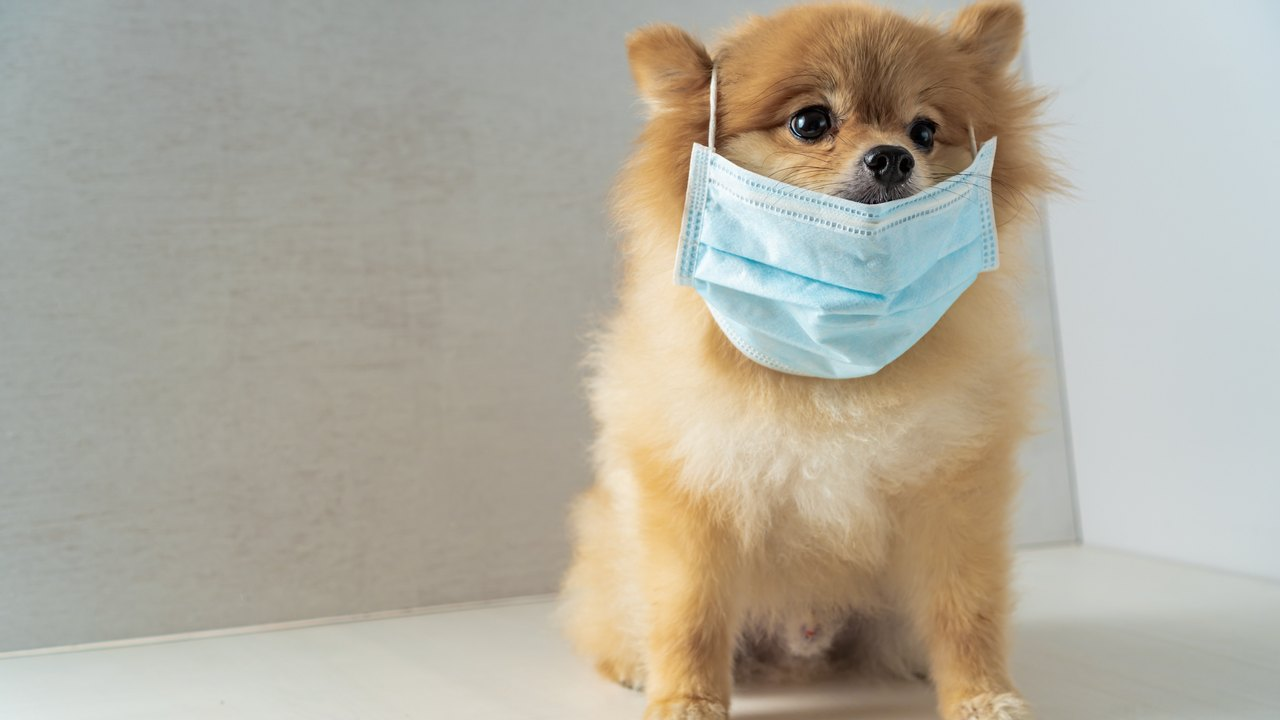 Hong Kong dog causes panic  but heres why you neednt worry about pets spreading COVID19