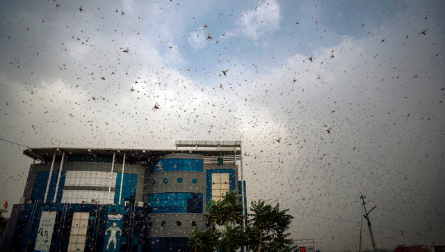 Locusts attack a cyclone forest fires and heatwave add to Indias miseries in the middle of COVID19 pandemic