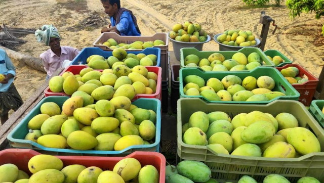 As COVID19 fears lockdown dull mangos sheen in Tamil Nadu foodies recount fruits indelible place in states cuisine