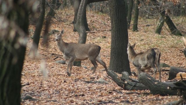 Discovery of Hangul carcass in Dachigam Sanctuary fuels concerns over suspected poaching of Kashmirs iconic deer