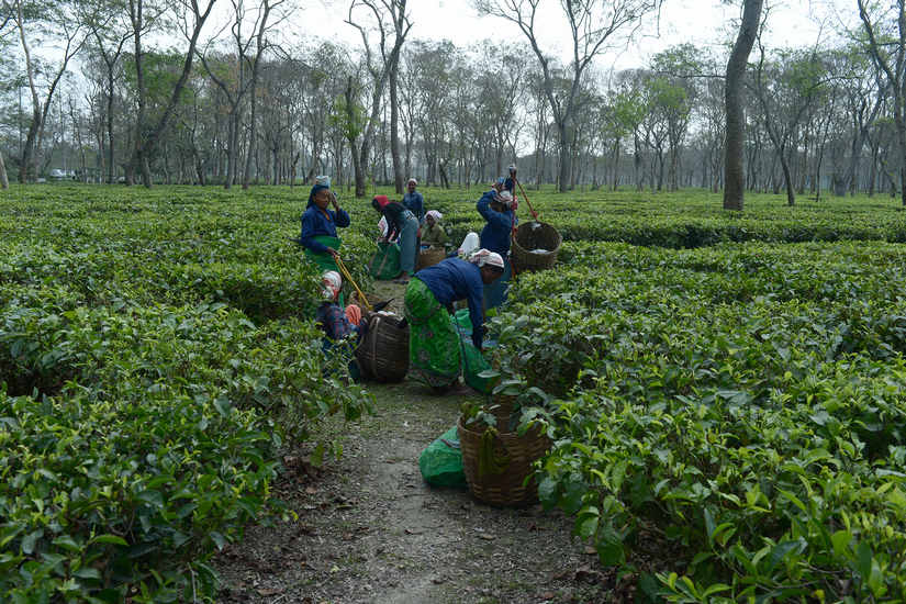 Assam Assembly Election 2021 Shaken by COVID19 pandemic small tea growers may stir brew in favour of BJP