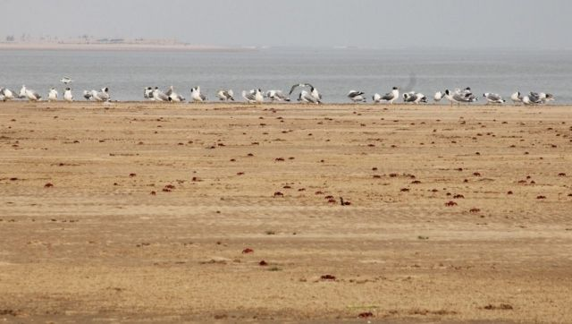 Development projects lined up for Odishas beaches known for their red ghost crabs