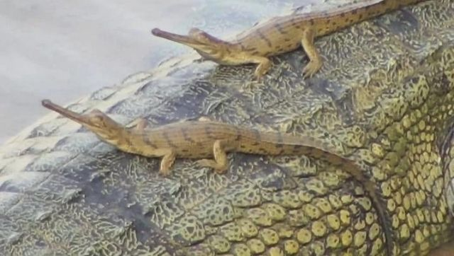 The spotting of a female gharials nest in Odisha underlines the states efforts to revive the critically endangered species